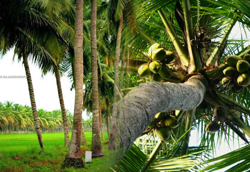 Kerala Govt to set up two coconut parks in Kannur and Kozhikode
