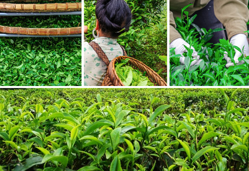 Union of five tea-growing and consuming countries launched boost tea trade